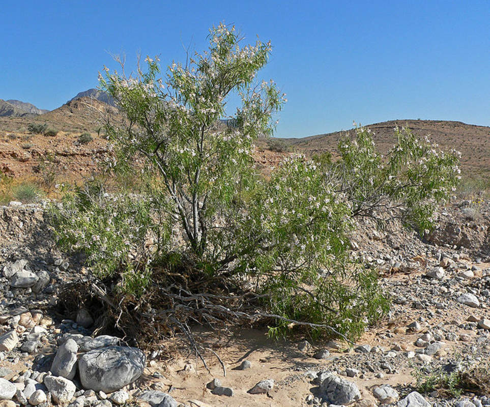 Chilopsis Linearis Shrub And Vine Seeds Desert Willow