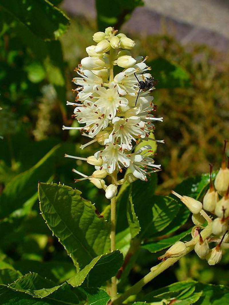 Clethra Alnifolia Shrub And Vine Seeds Summer Sweet