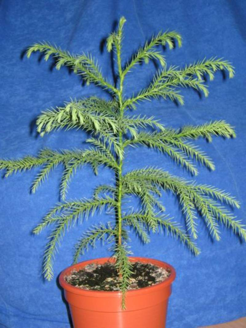 how to grow red cedar trees from seed