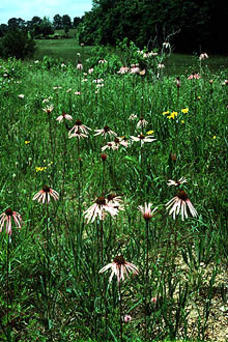 how to grow purple coneflower from seed