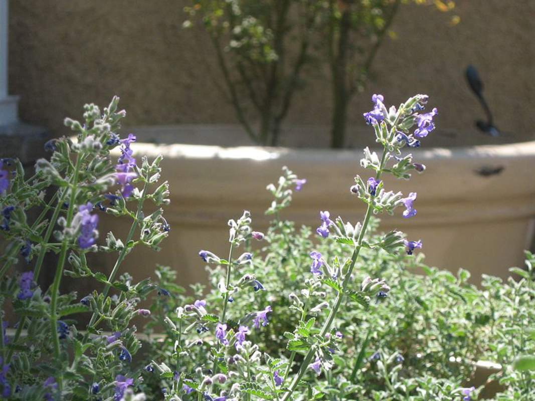 nepeta cataria herb and grass seeds catnip catmint catswort seeds for sale tree seeds. Black Bedroom Furniture Sets. Home Design Ideas