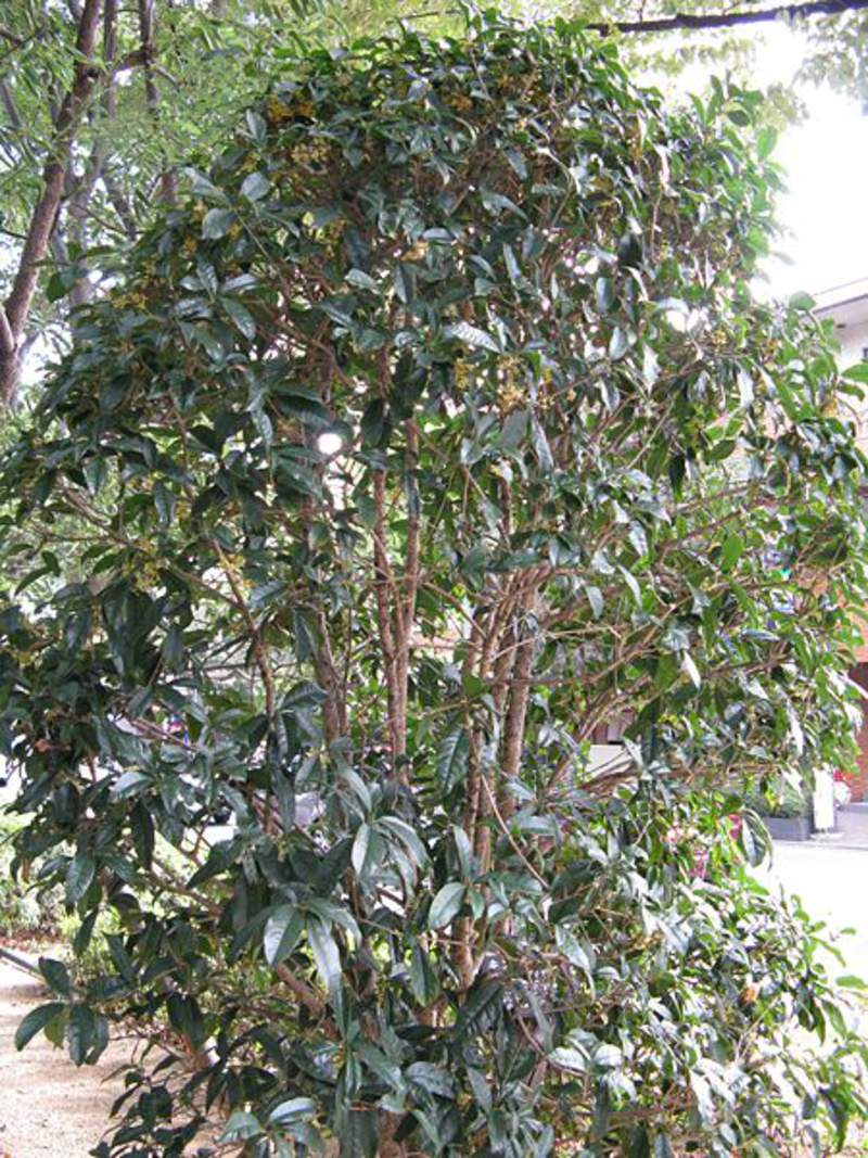 how to grow sweet osmanthus