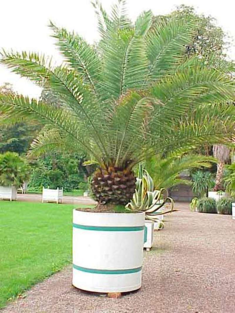 phoenix canariensis tree canary island date canary. Black Bedroom Furniture Sets. Home Design Ideas
