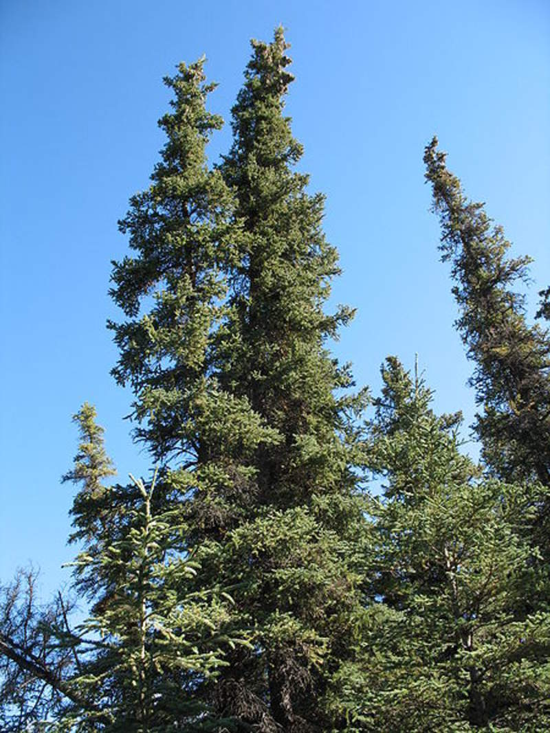 Picea Glauca Tree Seeds White Spruce Seeds For Sale