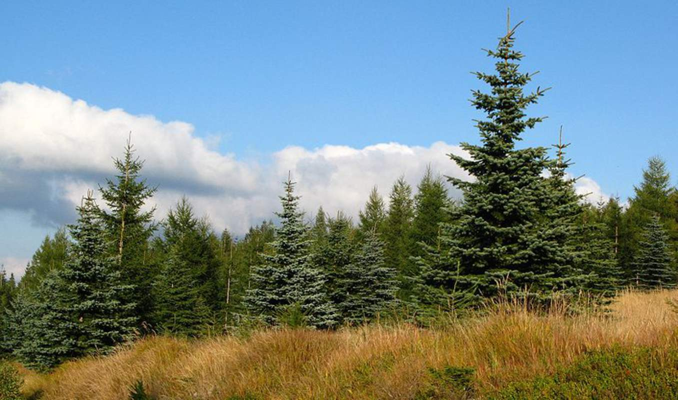 how to grow blue spruce for sale