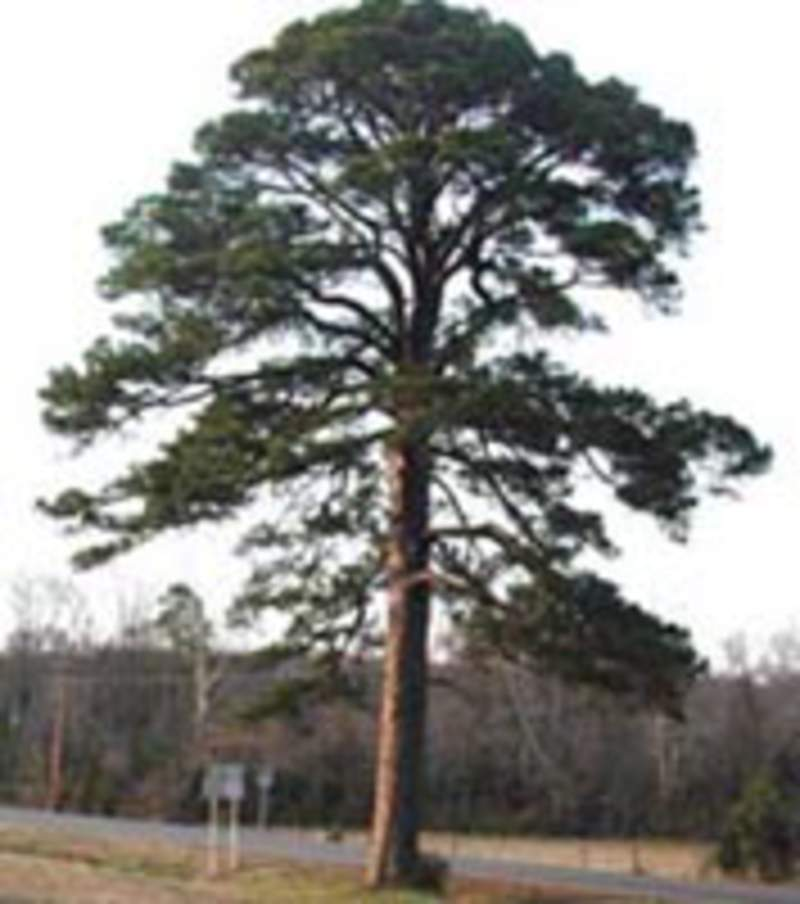 yellow pine latin dating site The site has been completely redesigned and modernized into a high volume southern yellow pine sawmill successful operations began in march 2003 the mcrae family is indeed happy to be back in graceville.