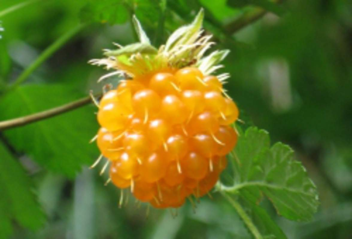 Rubus spectabilis - Shrub and Vine Seeds - Salmon Berry ...
