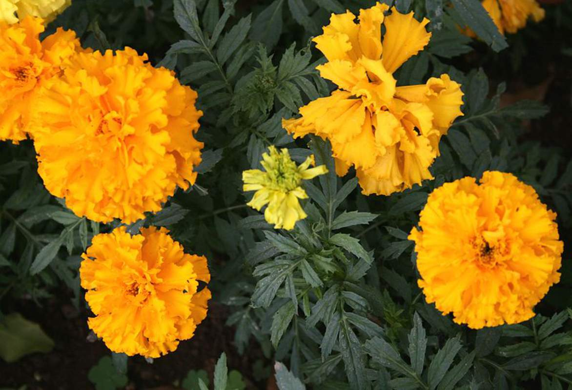 Tagetes Patula Flower Seeds French Marigold Seeds