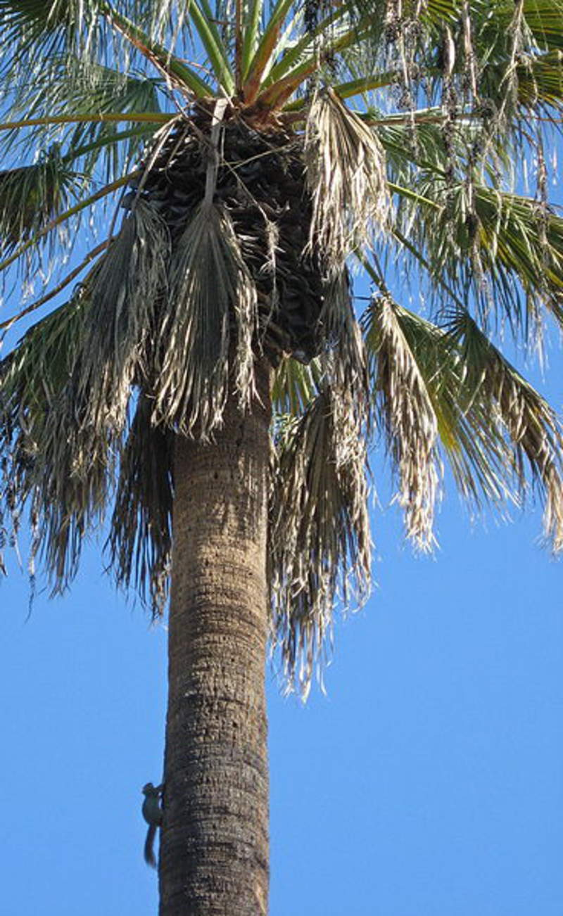 Washingtonia Filifera Tree Seeds California Fan Palm