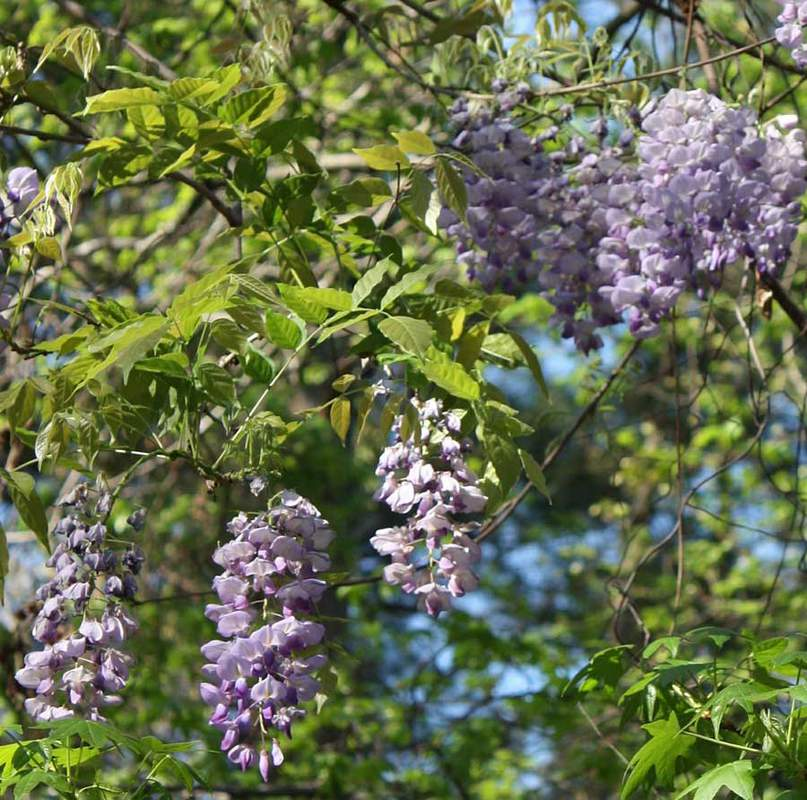 Wisteria Sinensis Shrub And Vine Seeds Chinese