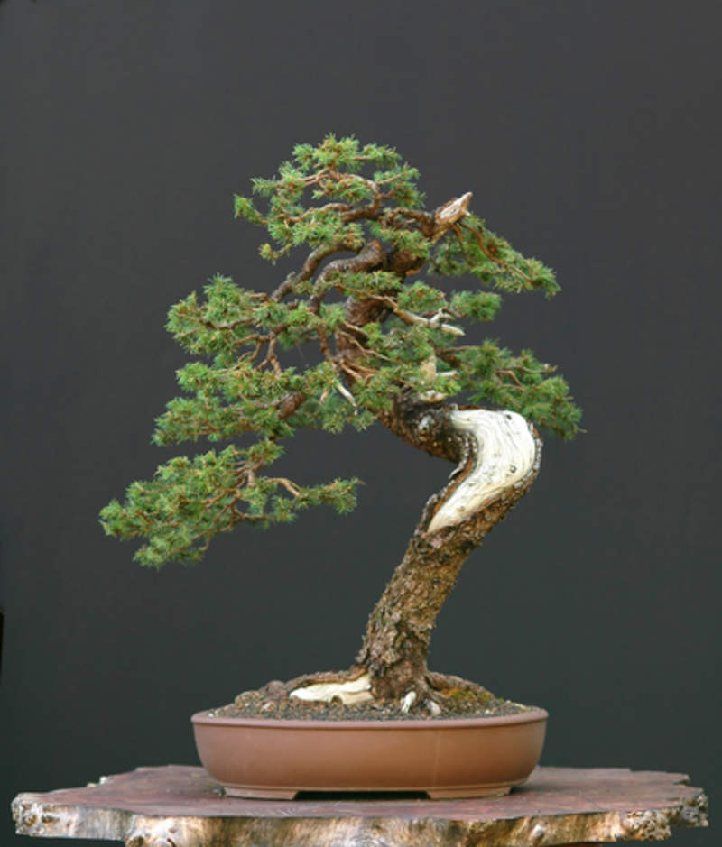 Picea Mariana Tree Seeds Black Spruce Seeds For