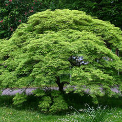 ACER palmatum     small seed fresh/green Small Seeded Japanese Maple seed for sale