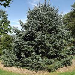 Picea asperata Dragon Spruce seed for sale