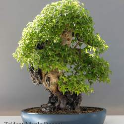 ACER buergerianum Trident Maple seed for sale