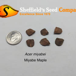 ACER miyabei Miyabe Maple seed for sale