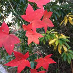 ACER oliverianum Oliver Maple seed for sale