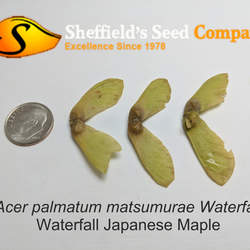 ACER palmatum matsumurae  Waterfall  fresh/green seed Waterfall Japanese Maple seed for sale