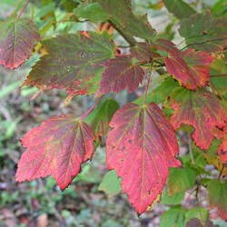 ACER spicatum Mountain Maple, Moosewood seed for sale