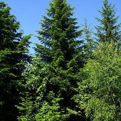 Abies alba Silver Fir, Common Silver Fir, European Silver Fir seed for sale