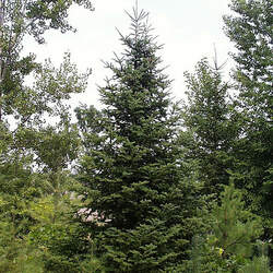 Abies balsamea  phanerolepis  WV Canaan Canaan Fir seed for sale