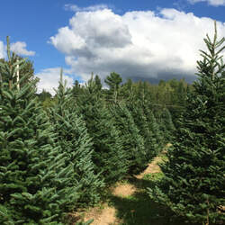 Abies balsamea    Nova Scotia Balsam Fir seed for sale