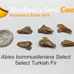 Abies bornmuelleriana     Select Select Turkish Fir, Select Bornmuller's Fir seed for sale
