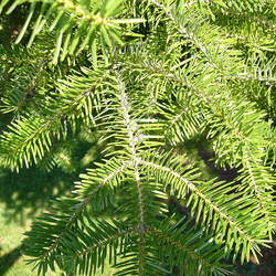 Abies cephalonica Greek Fir seed for sale