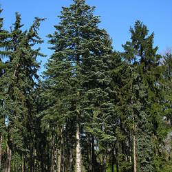 Abies concolor lowiana   Oregon White Fir, Concolor Fir seed for sale