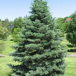 Abies concolor concolor   CO, San Isabel White Fir, Concolor Fir seed for sale