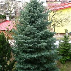 Abies concolor concolor   AZ, Apache White Fir, Concolor Fir seed for sale