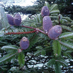 Abies delavayi  delavayi Delavays Fir, Delavay's Fir seed for sale