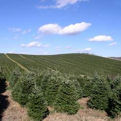 Abies fraseri    VA, Mt. Rogers Fraser Fir, Fraser's Fir seed for sale