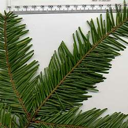 Abies grandis    Coastal Ecotype Grand Fir, Giant Fir, Great Silver Fir, Western White Fir seed for sale