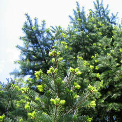 Abies holophylla Needle Fir, Manchurian Fir seed for sale