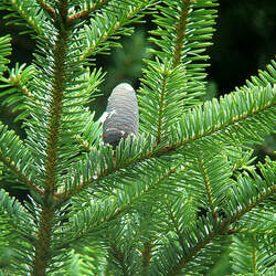 Abies homolepis Nikko Fir seed for sale