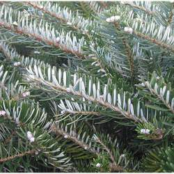 Abies koreana Korean Fir seed for sale