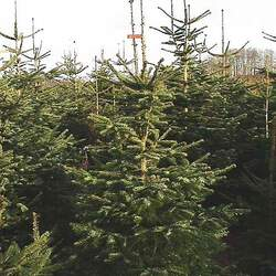 Abies nordmanniana    Turkey Nordmann Fir, Caucasian Fir seed for sale