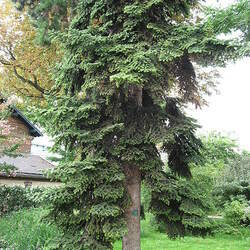 Abies numidica Algerian Fir seed for sale