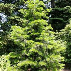 Abies pindrow Pindrow Fir, West Himalayan Fir, Silver Fir seed for sale
