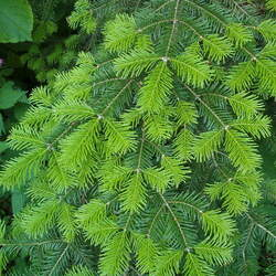 Abies veitchii Veitch Fir, Christmastree, Veitch's Silver Fir seed for sale