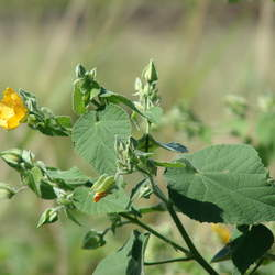 Abutilon grandifolium Hairy Indian Mallow seed for sale
