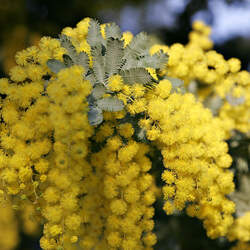 Acacia baileyana Cootamundra Wattle, Golden Mimosa, Bailey Acacia seed for sale