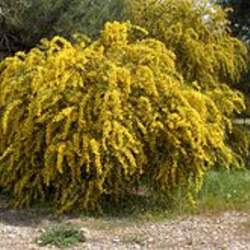 Acacia cyanophylla Orange Wattle, Coojong, Golden Wreath Wattle, Blue-leaved Wattle, Western Australian Golden Wattle, Port Jackson Willow seed for sale