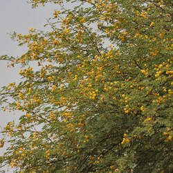 Acacia nilotica Gum Arabic Tree seed for sale