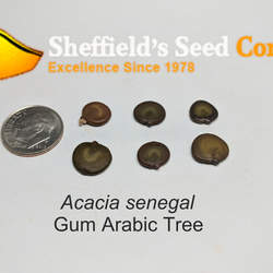Acacia senegal Gum Arabic Tree, Gum Arabic seed for sale