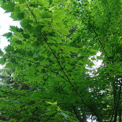 ACER barbinerve Bearded Maple seed for sale
