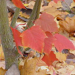 ACER capillipes Snake-bark Maple seed for sale