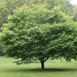 ACER carpinifolium Hornbeam Maple, Zig-Zag Tree seed for sale