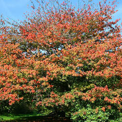 ACER cissifolium Ivy-leaved Maple, Vine-leaved Maple seed for sale