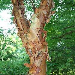 ACER griseum     dewinged Paperbark Maple seed for sale